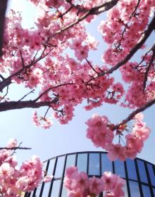 きれいに桜が咲きました